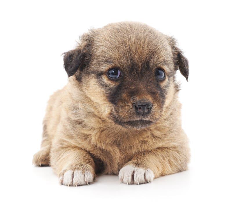 Один малый коричневый щенок стоковая фотография rf