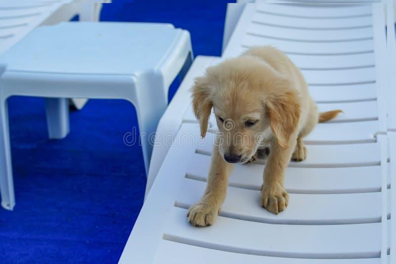 Один милый золотой щенок сидя на шезлонге стоковое фото rf