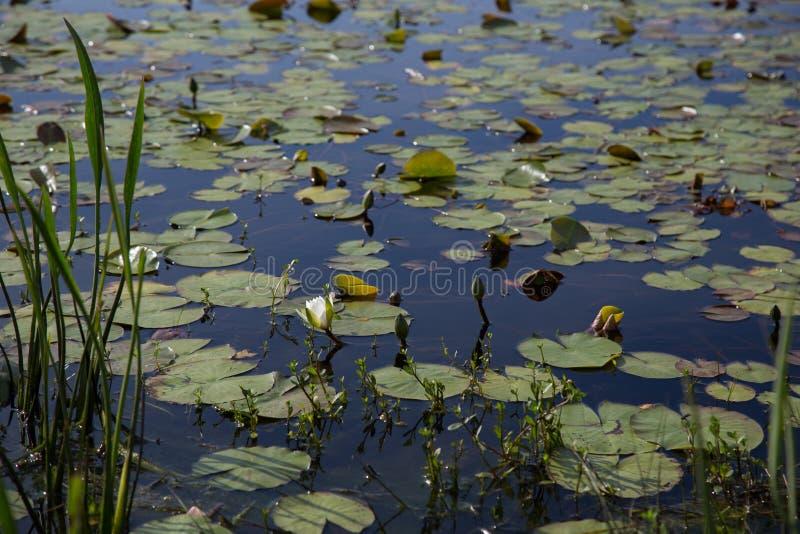 Один отпочковываясь белый waterlily цветок зацветая в sunlit темном пруде с пусковыми площадками лилии и другими аквариумными рас стоковое изображение rf