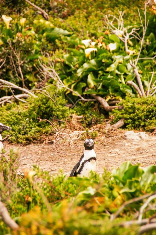 Один пингвин в каменистом пункте, Южной Африке стоковые фотографии rf