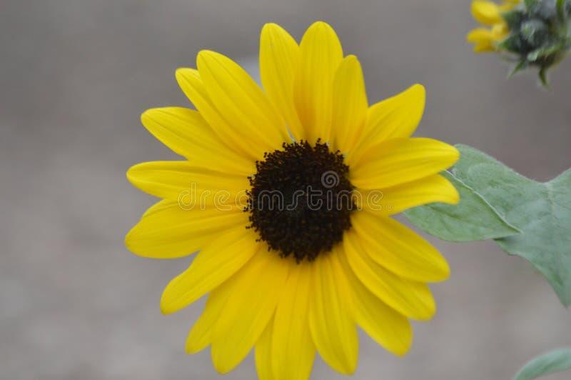 один подсолнечный цветок наслаждается днем стоковое изображение rf
