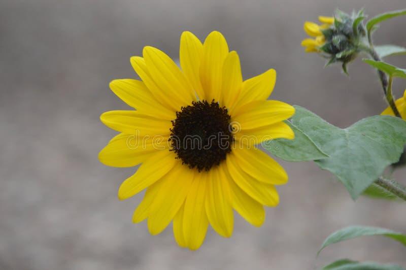 Один подсолнечный цветок наслаждается днем стоковое изображение