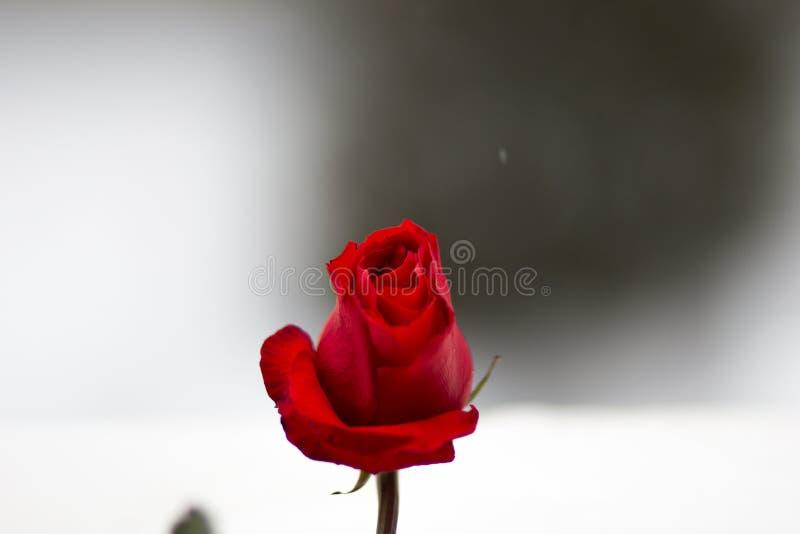 один свежий и красивый конец красной розы вверх стоковое фото