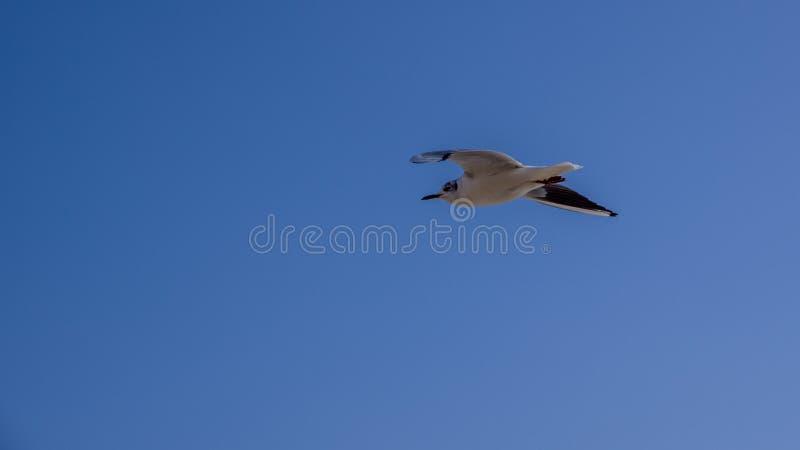Один сдирать seaqull Предпосылка неба Bluie стоковая фотография