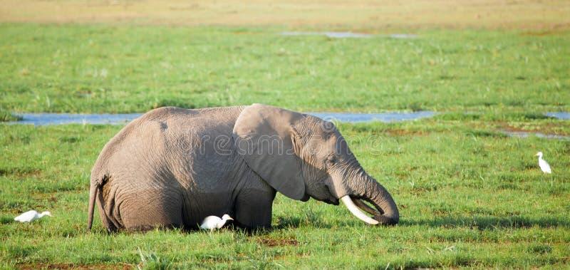 Один слон стоит в болоте и ест траву стоковые фото