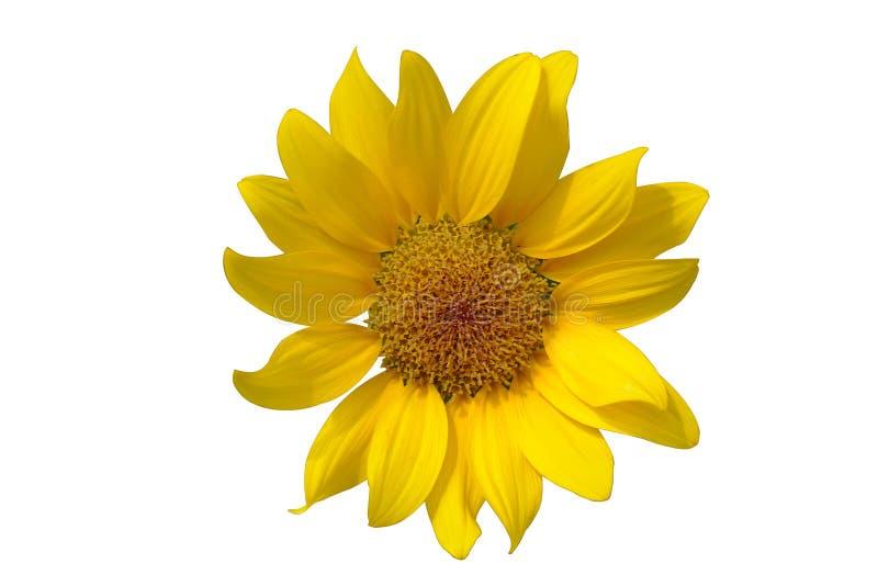 Один солнцецвет на белой предпосылке стоковое фото