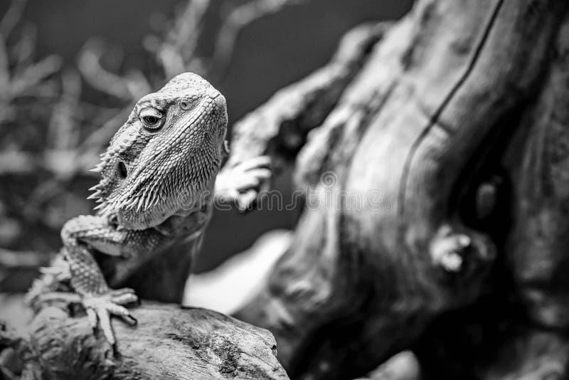 Один тон monochrome игуаны ящерицы стоковое фото