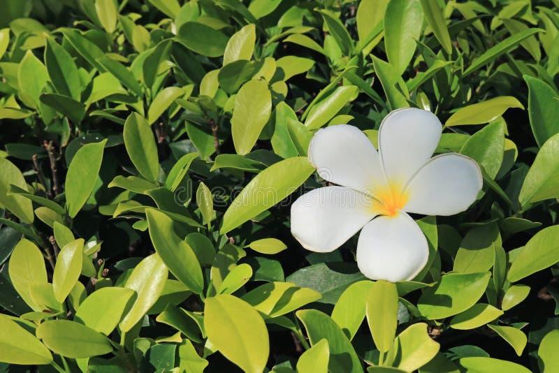 Один чисто белый цветок Plumeria на ярком ом-зелен Буше в солнечном свете стоковая фотография