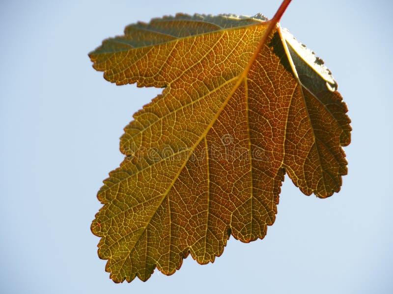 Один яркий лист с чертами в конце-вверх голубого неба стоковое фото rf