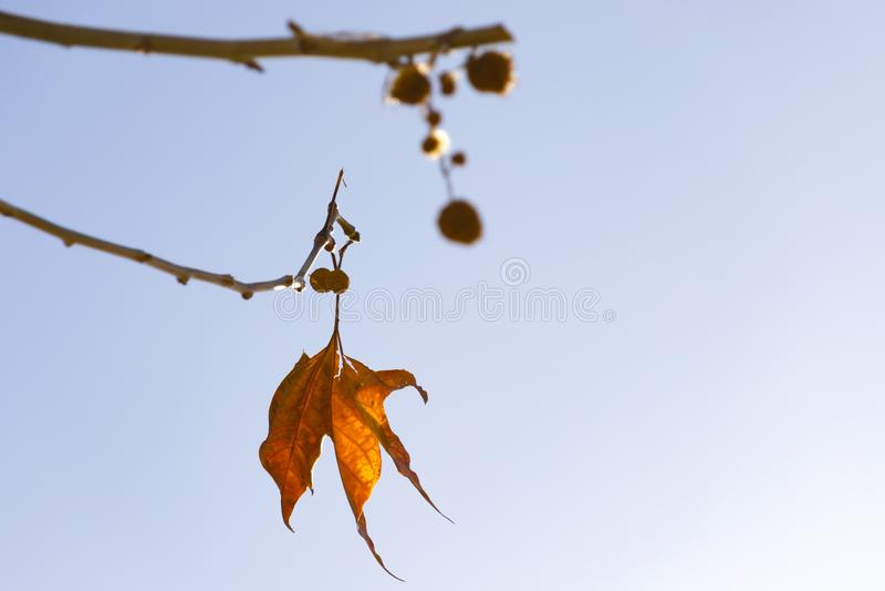 Один яркий оранжево-желтый лист осени плоского дерева против голубого неба стоковые фотографии rf
