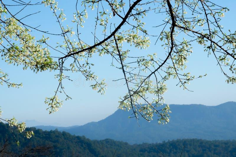 Одичалая гималайская вишня красивая белизна стоковая фотография