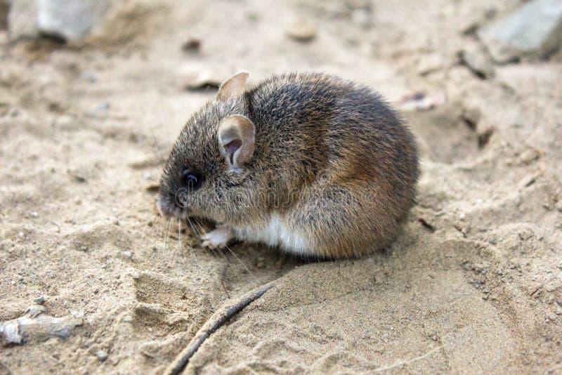 Одичалая деревянная мышь сидя на дороге песка стоковое фото