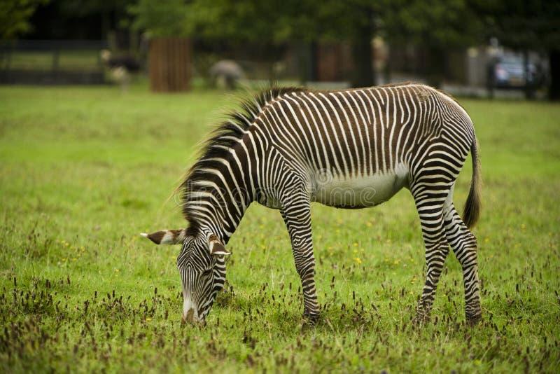 одичалая зебра стоковые изображения