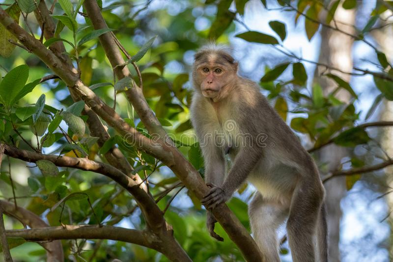 Одичалая обезьяна, макака Bonnet стоковое фото rf