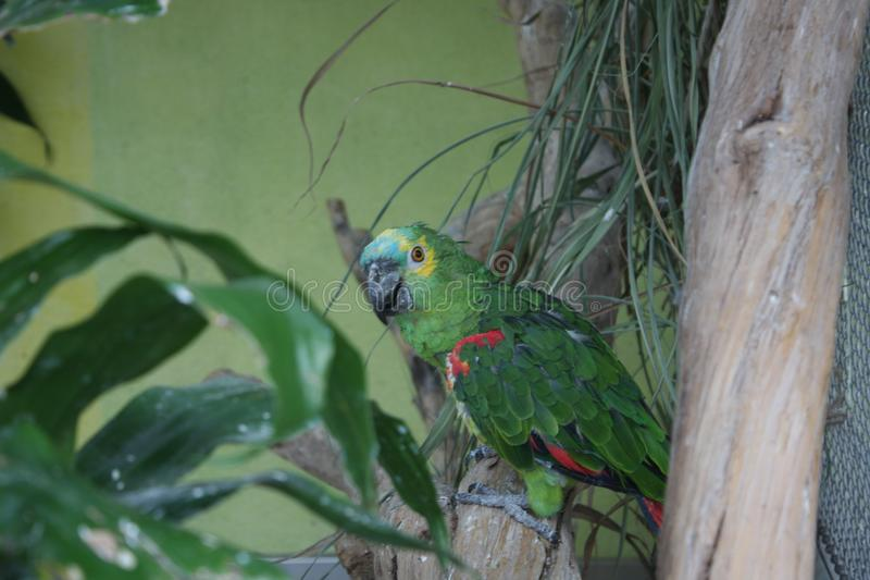 Одичалая птица попугая стоковые изображения rf