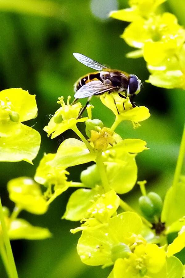 Одичалая пчела на утре лета желтого цветка свежем после дождя стоковая фотография rf