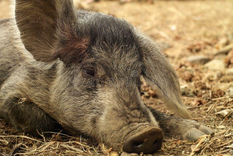 Одичалая свинья при большие уши отдыхая лежать на том основании стоковое изображение