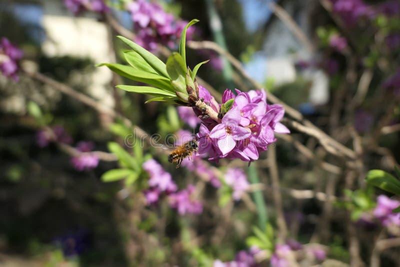 Одичалая солитарная пчела ища нектар на зацветая кусте daphne внутри стоковые изображения rf