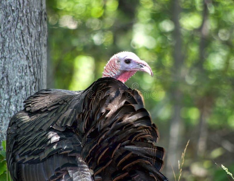 Одичалая Турция в деревьях стоковые изображения