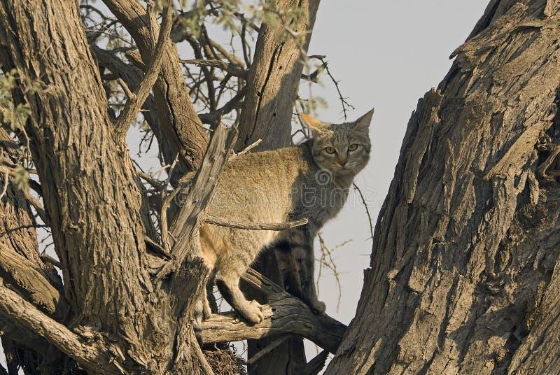одичалое африканского кота серое стоковые фотографии rf