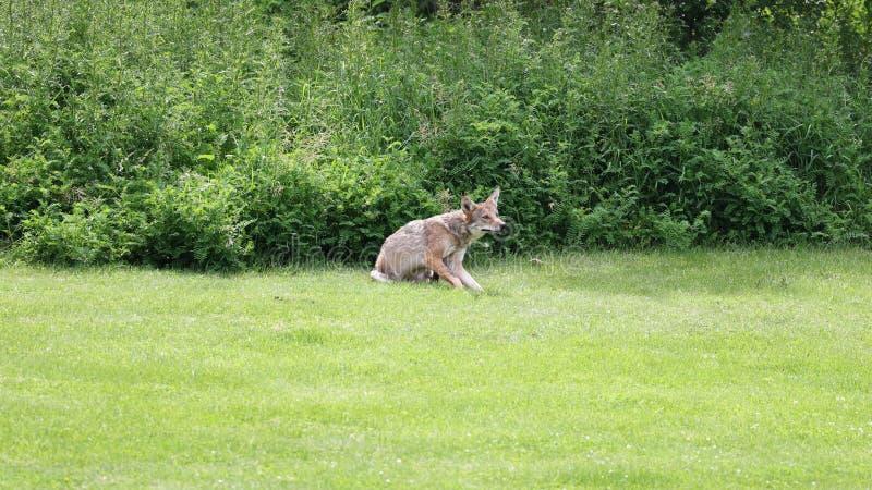 Одичалое звероловство койота для добычи в полесьях во время лета стоковое фото