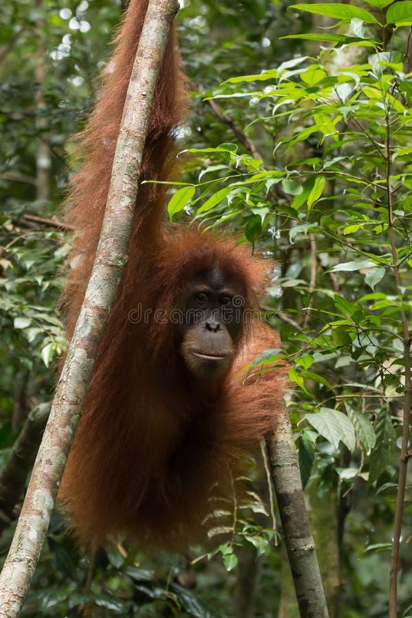 Одичалое и критически угрожаемое abelii Pongo орангутана Sumatran в национальном парке Gunung Leuser в северной Суматре, Индонези стоковое фото rf
