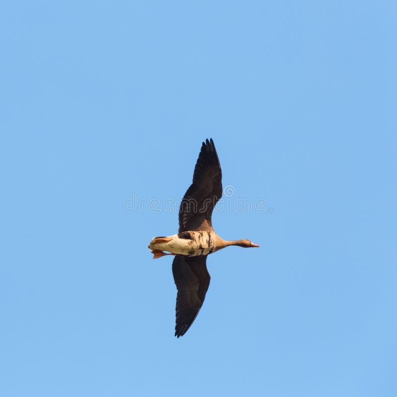 Одичалое летание гусыни стоковая фотография rf