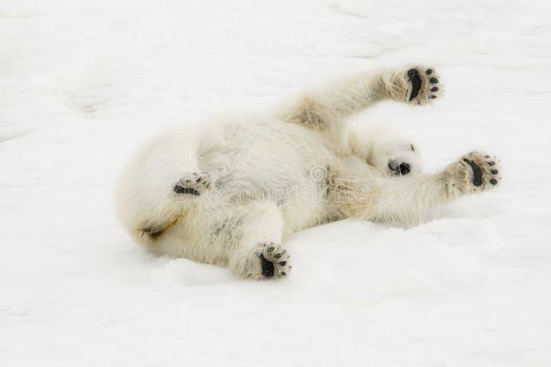 Одичалое maritimus Ursus полярного медведя на льде & снег Шпицбергена стоковая фотография rf