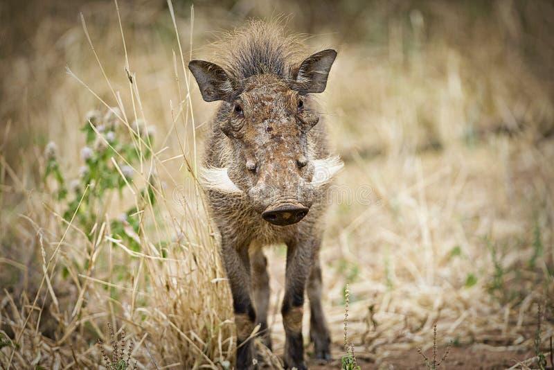 Одичалое Warthog в Восточной Африке стоковое изображение