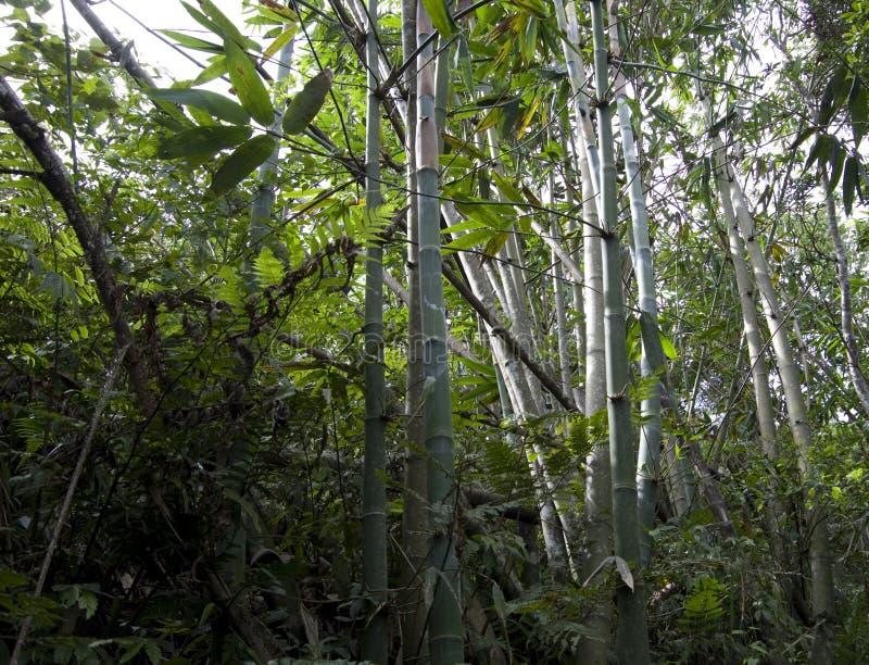 Одичалые бамбуки растя Тайвань стоковое фото rf