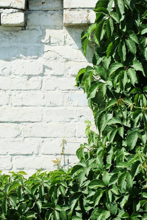 Одичалые виноградины на белой кирпичной стене стоковые фото