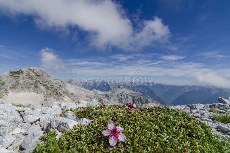 Одичалые высокогорные цветки зацветая высоко на верхней части горы стоковое фото rf