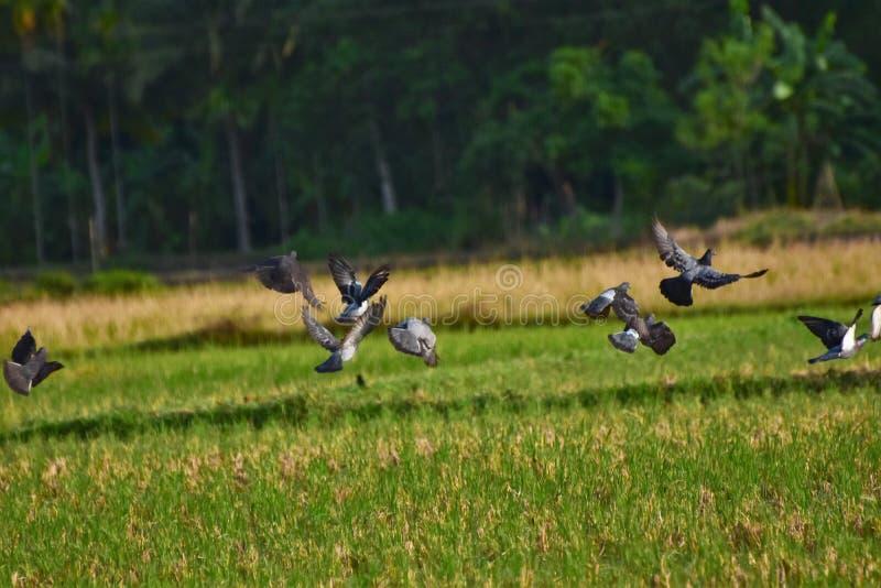 Одичалые голуби летая стоковое фото rf