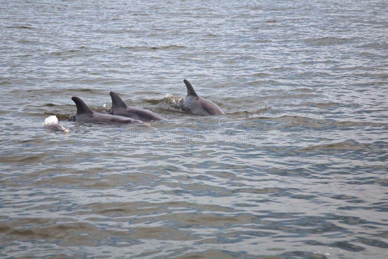 Одичалые дельфины стоковые фото