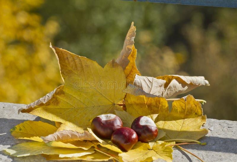 Одичалые каштаны с листьями осени в поводах осени Конские каштаны в сцене листвы осени Золотая осень в натюрморте сезон стоковое изображение