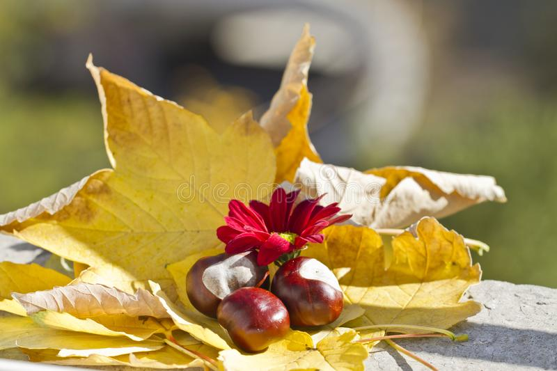 Одичалые каштаны с листьями осени в поводах осени Конские каштаны в сцене листвы осени Золотая осень в натюрморте сезон стоковое фото rf