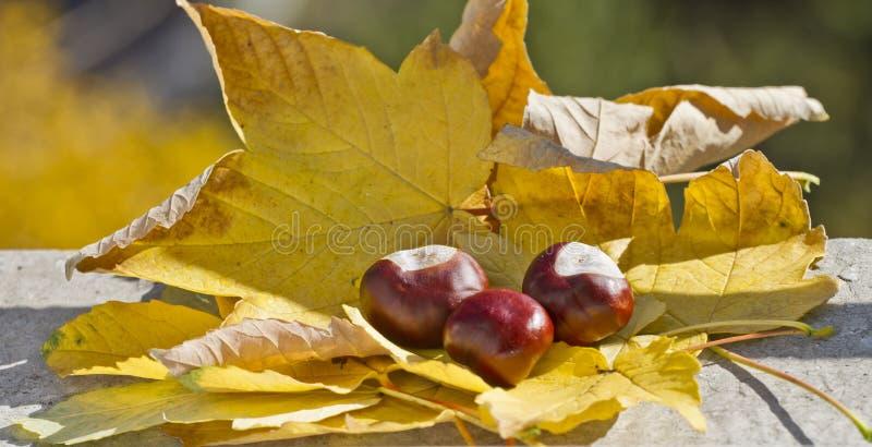 Одичалые каштаны с листьями осени в поводах осени Конские каштаны в сцене листвы осени Золотая осень в натюрморте сезон стоковые изображения rf
