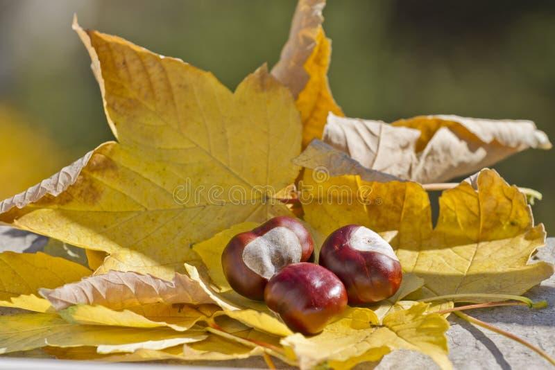 Одичалые каштаны с листьями осени в поводах осени Конские каштаны в сцене листвы осени Золотая осень в натюрморте сезон стоковые изображения