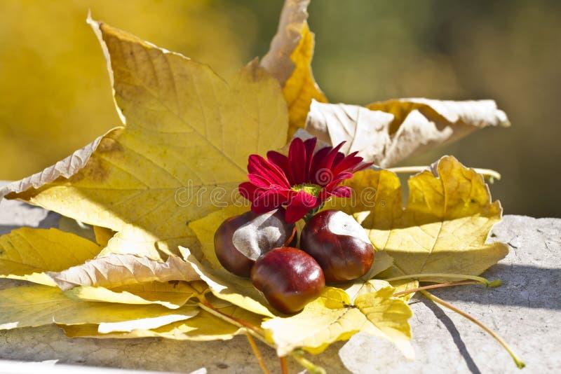 Одичалые каштаны с листьями осени и красной хризантемой Конские каштаны в сцене листвы осени с красными chrysanths цветут стоковые фото