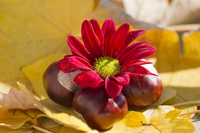 Одичалые каштаны с листьями осени и красной хризантемой Конские каштаны в сцене листвы осени с красными chrysanths цветут стоковое фото rf