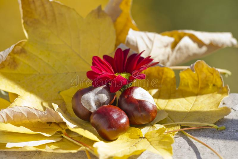 Одичалые каштаны с листьями осени и красной хризантемой Конские каштаны в сцене листвы осени с красными chrysanths цветут стоковые фотографии rf