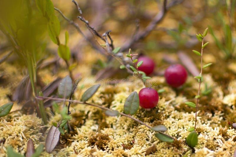 Одичалые клюквы растя в трясине, сборе осени Свежие зрелые клюквы на мхе, крупный план стоковые фото