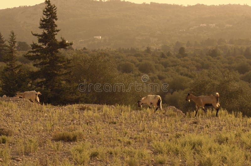 Одичалые козы типа kri-kri идут дальше на краю скалы горы стоковые изображения rf