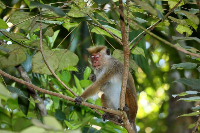 Одичалые обезьяны шляпы Цейлона в Шри-Ланке стоковые изображения rf