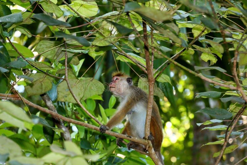Одичалые обезьяны шляпы Цейлона в Шри-Ланке стоковая фотография rf
