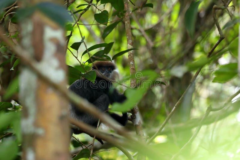 Одичалые обезьяны шляпы Цейлона в Шри-Ланке стоковое изображение