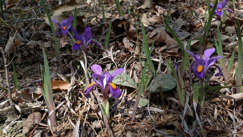Одичалые радужки - Iris радужка вида Verna в северных горах Georgia стоковое фото