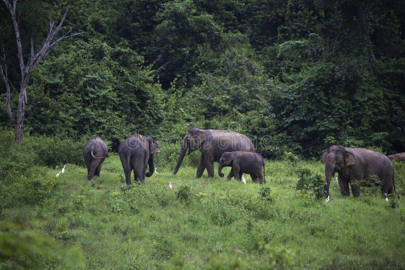 Одичалые слоны живут в глубоком лесе в национальном парке стоковое фото