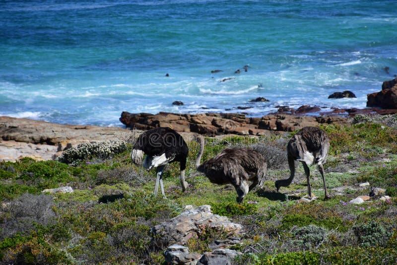 Одичалые страусы, накидка хорошей надежды, Южная Африка стоковое фото rf