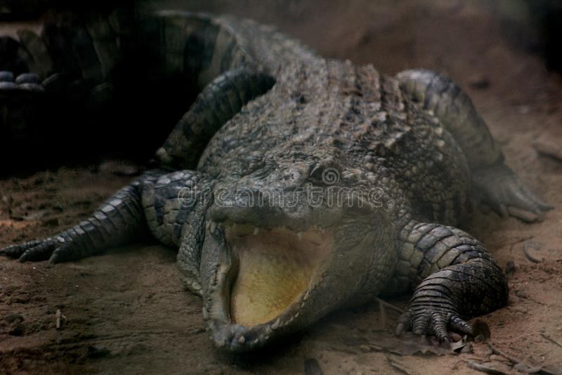 Одичалый аллигатор стоковые фото